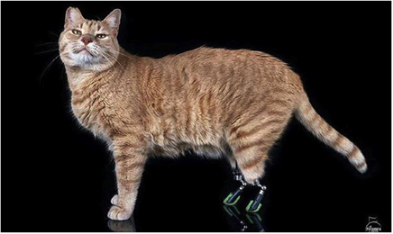 Photo of نجومية قطة بأطراف اصطناعية