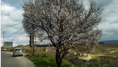 Photo of تهلّ بشائر الربيع زهورَ لوز من جزين