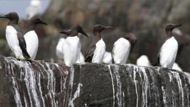 Photo of برازها ثروات كامنة طيور بحريّة تصل قيمة فضلاتها لنصف مليار دولار