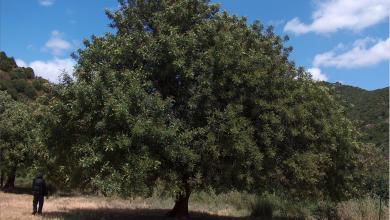 Photo of دبسُها صناعته حرفة سوريّة تراثيّة وغذاء طبيعيّ كامل الخرُّوب.. شجرة معمِّرة دائمة الخضرة