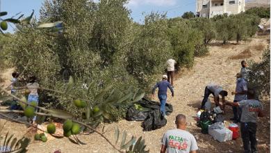 Photo of حملة شبابيّة فلسطينية لعون المزارعين  بقطف الزيتون قرب المغتصبات اليهوديّة…