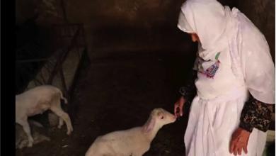 Photo of الحاجة أم محمد و70 عاماً ورفاق دربها أغنام: جزء من حياتي لا يمكنني التخلّي عنه