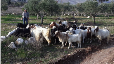 Photo of في الطبيعة..  الراعي من دون كمامة وكذلك القطيع